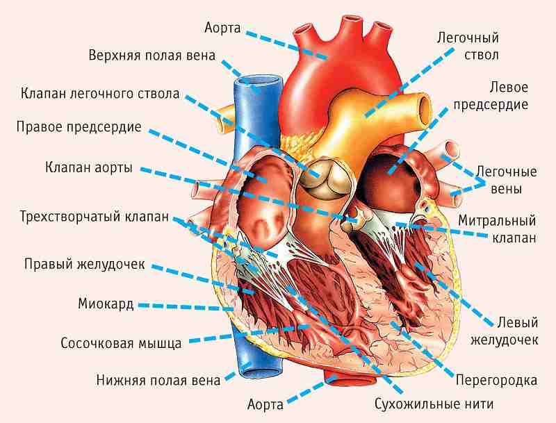 heart_anatomy-min_compressed